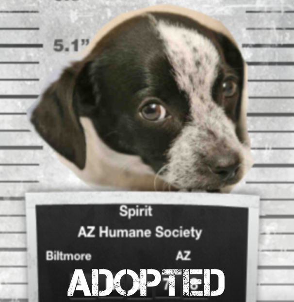 "black and white puppy with ""adopted"" sign in front of its chest"