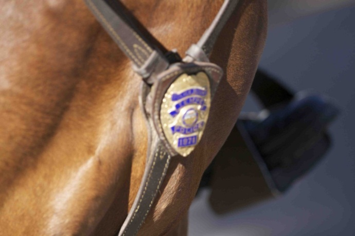 close up of police breast badge being proudly worn on a PD horse's chest